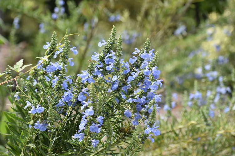 Salvia azurea 'Little Boy Blue' (blue sage)