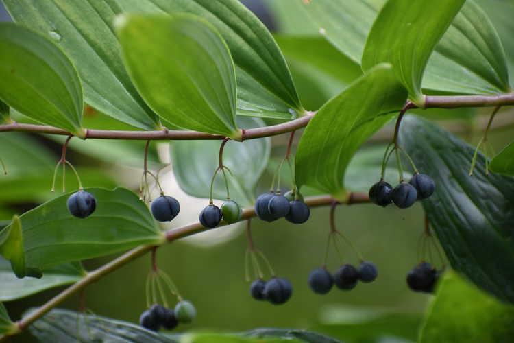 Polygonatum arisanense var. formosanum