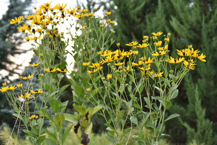 Rudbeckia auriculata (eared perennial black-eyed Susan)