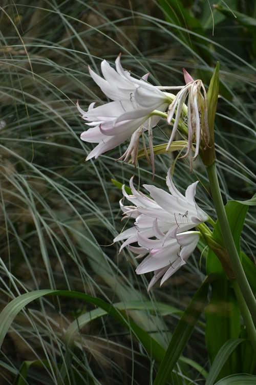 Crinum 'Maiden's Blush' (crinum lily)