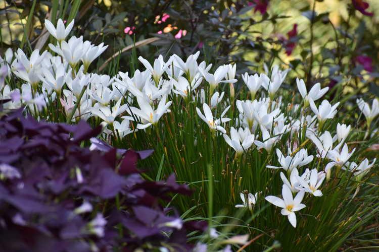 Zephyranthes candida (white rain-lily)