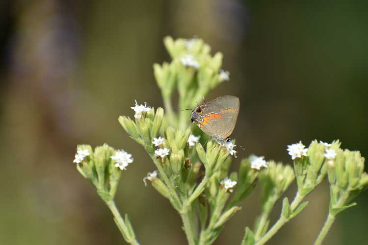 Stevia (candyleaf) - Red-banded Hairstreak Butterfly