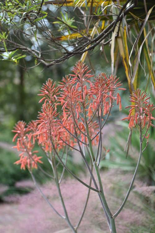 Aloe maculata 'Fort Worth' (soap aloe)