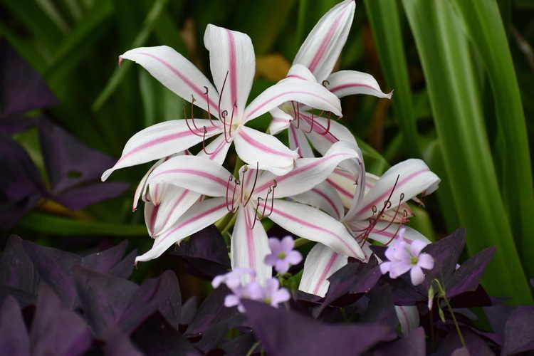 Crinum ×digweedii 'Mahon' (hybrid crinum-lily)