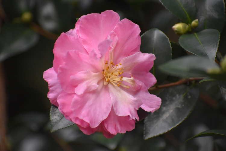 Camellia ×hiemalis 'Autumn Rose' (hybrid camellia)