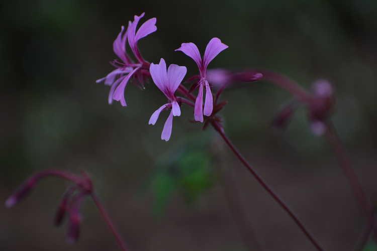 Pelargonium transvaalense 'African Princess' (hardy pelargonium)