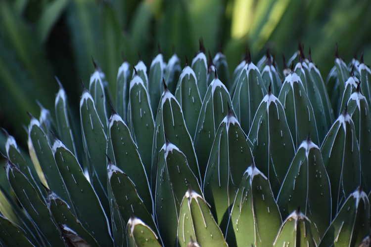 Agave victoriae-reginae (Queen Victoria agave)