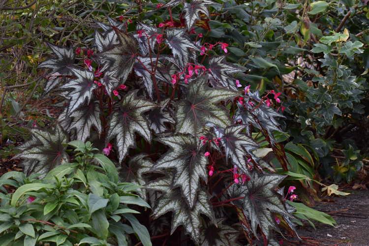 Begonia 'Little Brother Montgomery' (hardy begonia)
