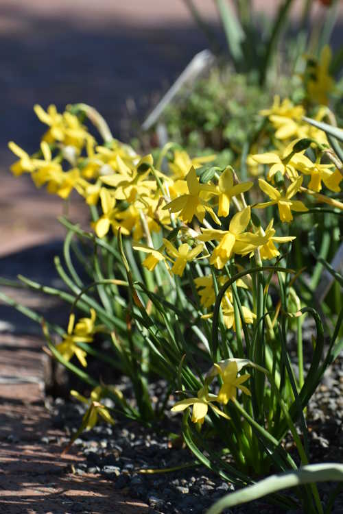 Narcissus 'Tiny Bubbles' (daffodil)