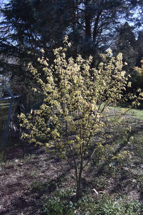 Acer buergerianum 'Bling-bling' (golden trident maple)