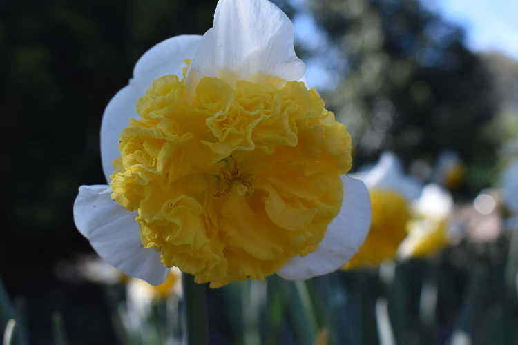 Narcissus 'Can Can Girl' (daffodil)