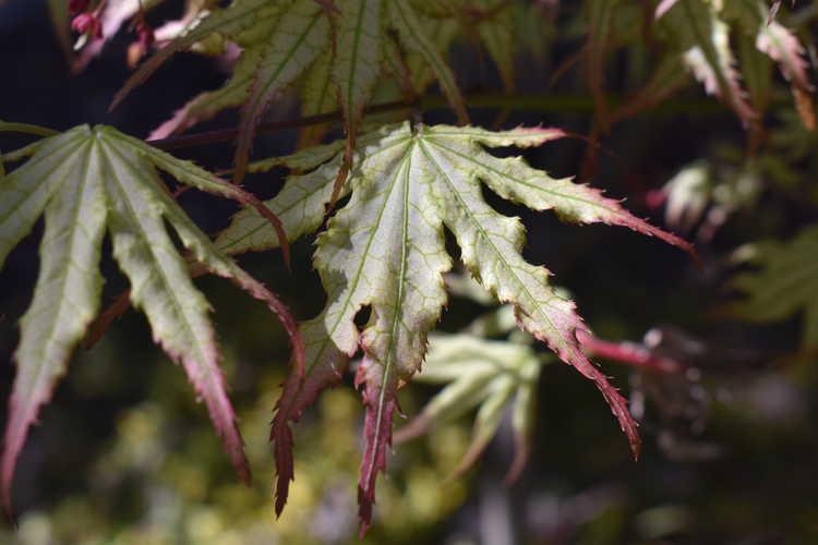 Acer palmatum 'Peaches and Cream' (reticulated Japanese maple)