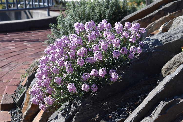 Aethionema schistosum (fragrant Persian stonecress)
