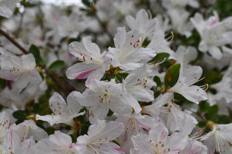 Rhododendron (Huang 1-3-16) (azalea)