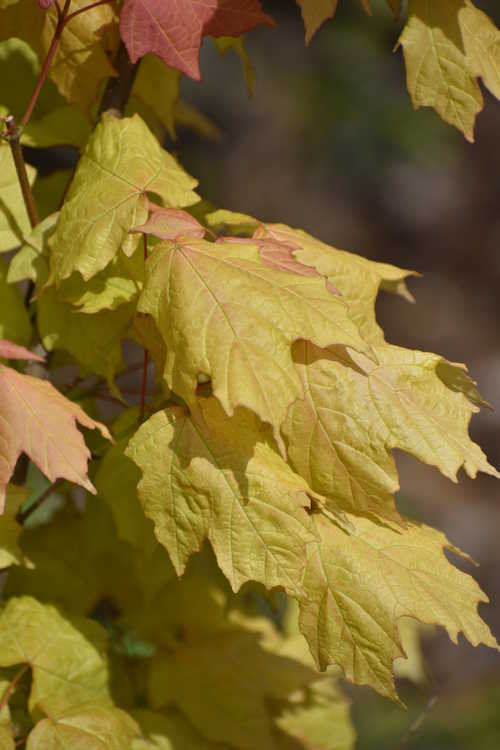Acer skutchii 'Tequila Sunrise' (Mexican mountain sugar maple)