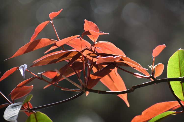 Acer laevigatum 'Hóng Lóng' (red dragon smoothleaf maple)