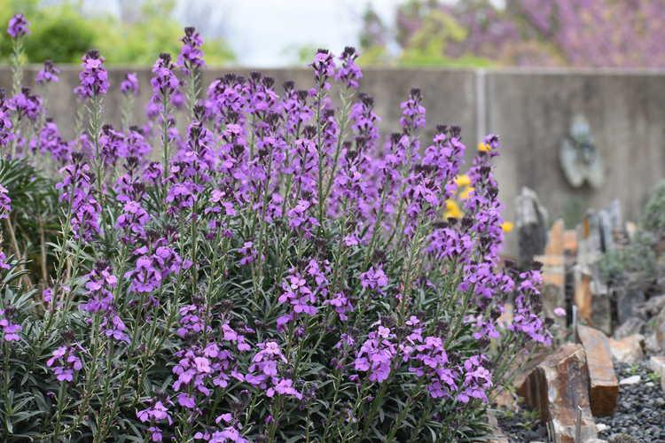 Erysimum linifolium 'Bowles Mauve' (alpine wallflower)