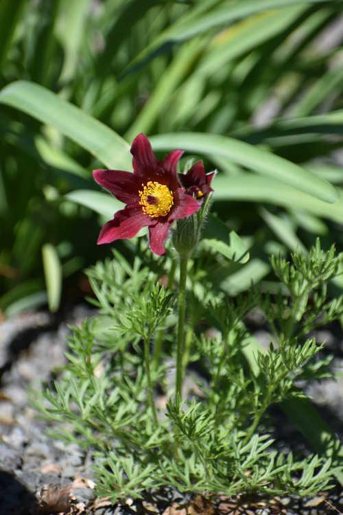 Pulsatilla vulgaris 'Rote Glocke' (Red Bells pasque flower)