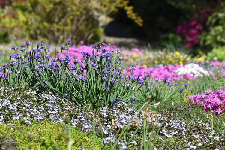Sisyrinchium angustifolium 'Lucerne' (narrowleaf blue-eyed grass) - flowering lawn
