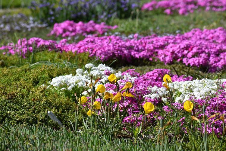 Phlox (Multi Confetti Spring phlox) - flowering lawn