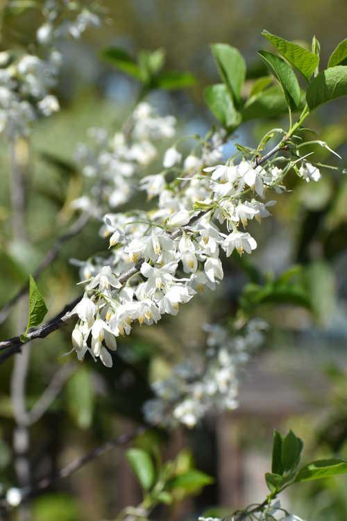 Halesia diptera var. magniflora (Florida silverbell)
