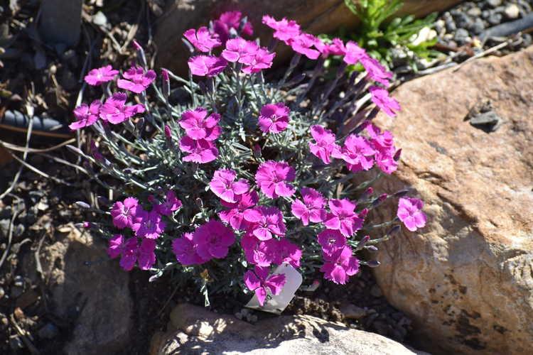 Dianthus 'Inshriach Dazzler' (garden pink)