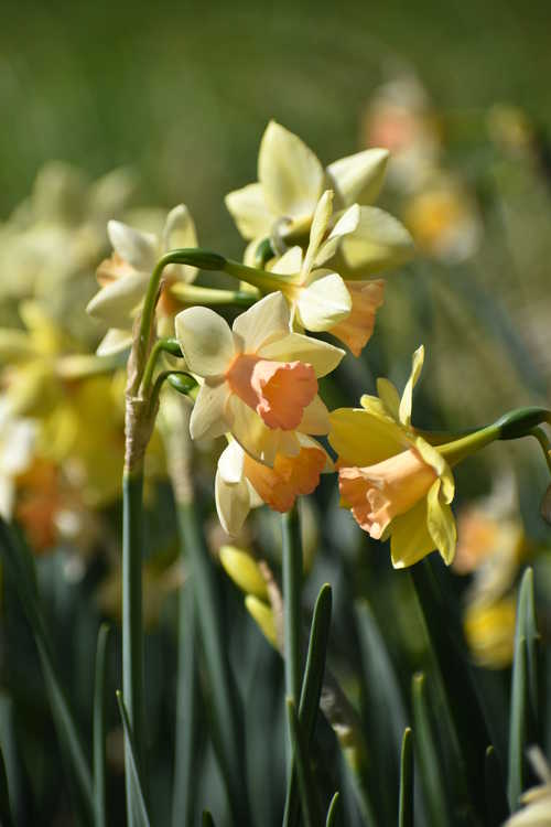 Narcissus 'Blushing Lady' (jonquilla daffodil)