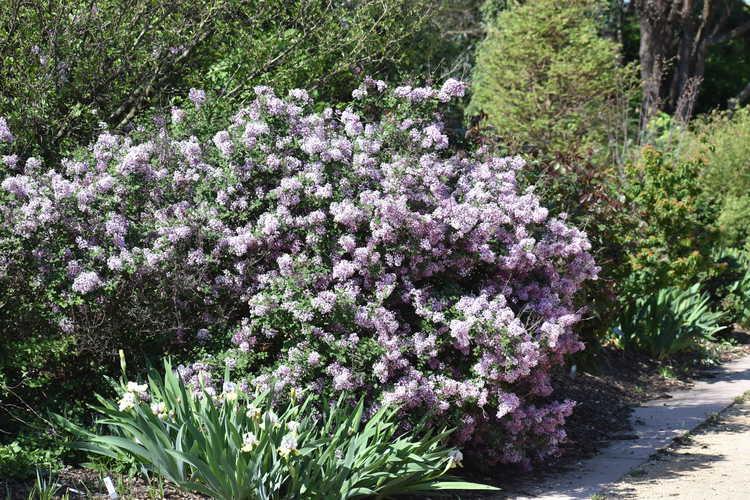 Syringa 'Penda' (Bloomerang re-blooming lilac)