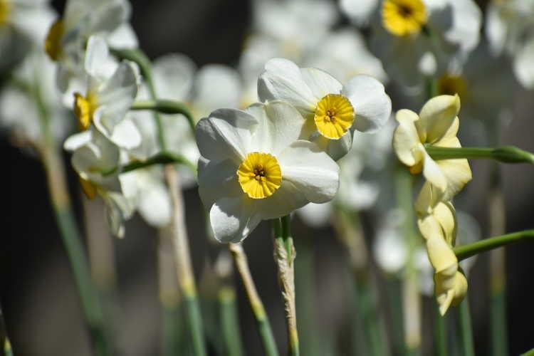 Narcissus 'Chinita' (daffodil)