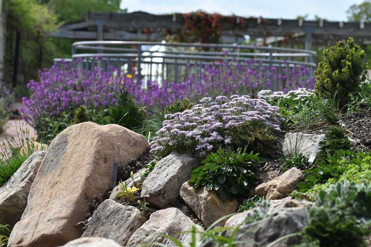 Iberis simplex (candytuft) - rock garden
