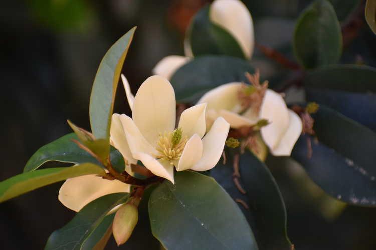 Magnolia 'Serendipity' (hybrid magnolia)