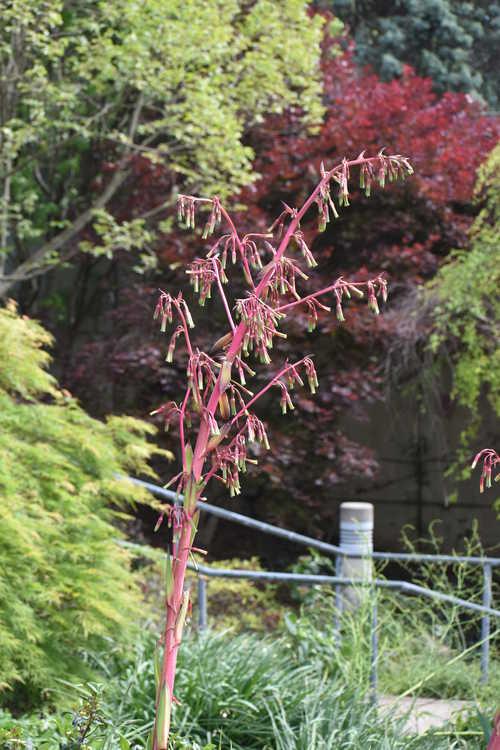 Beschorneria (B. dekosteriana × B. septentrionalis) × B. septentrionalis (hybrid false red agave)