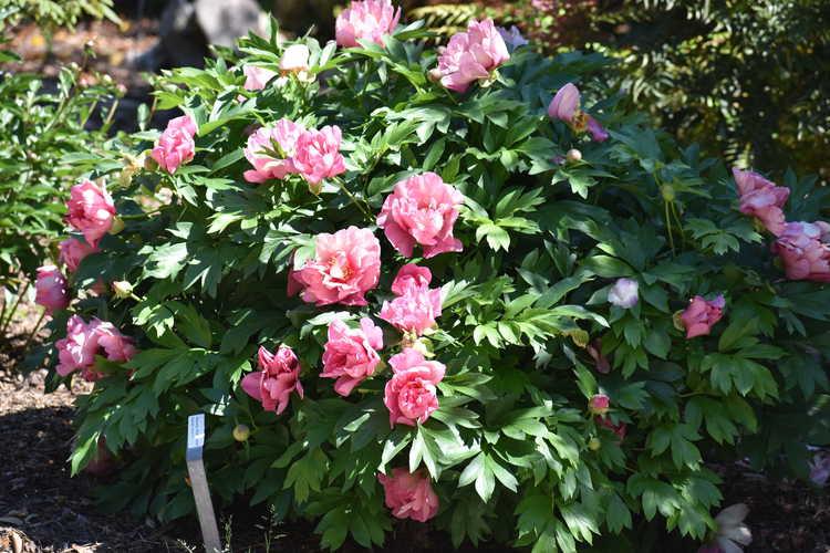 Paeonia 'Pink Double Dandy' (Keiko Itoh peony)