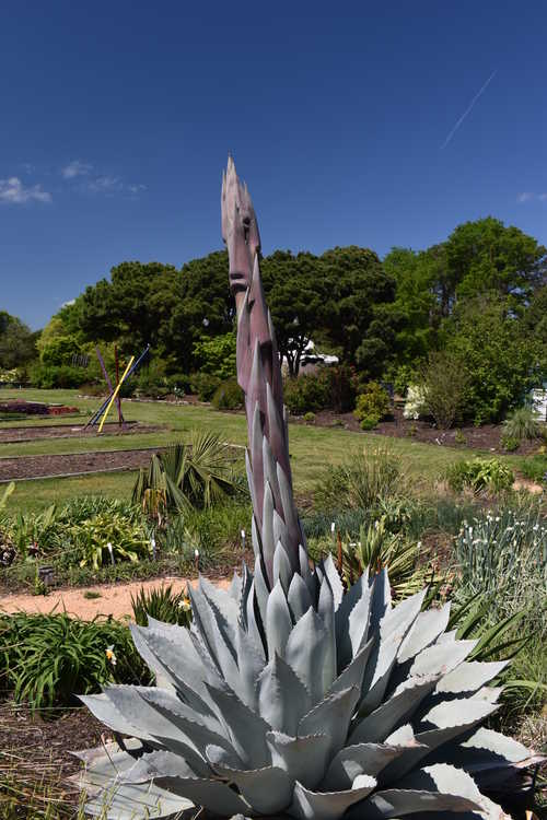 Agave ovatifolia 'Frosty Blue' (whale's tongue agave)