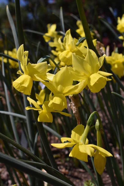 Narcissus 'Sunlight Sensation' (triandrus daffodil)