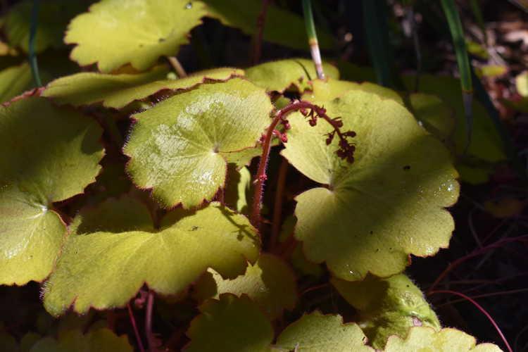 Saxifraga stolonifera 'Aurea' (strawberry geranium)