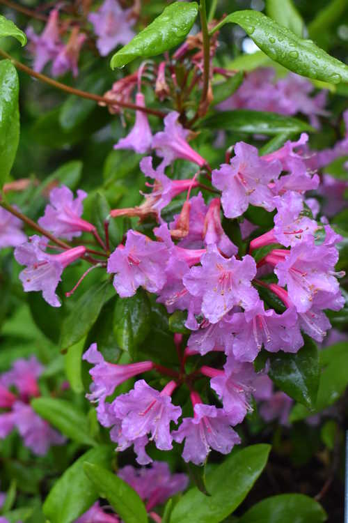 Rhododendron minus 'Southern Cerise' (Piedmont rhododendron)