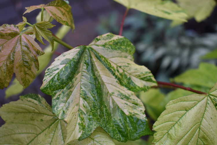 Acer pseudoplatanus 'Simon-Louis Frères' (variegated sycamore maple)