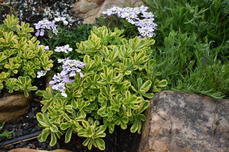 Sedum ellacombianum 'Cutting Edge' (variegated stonecrop)