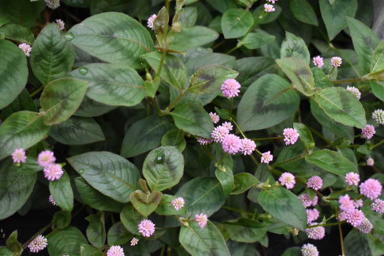 Persicaria capitata (pinkhead smartweed)