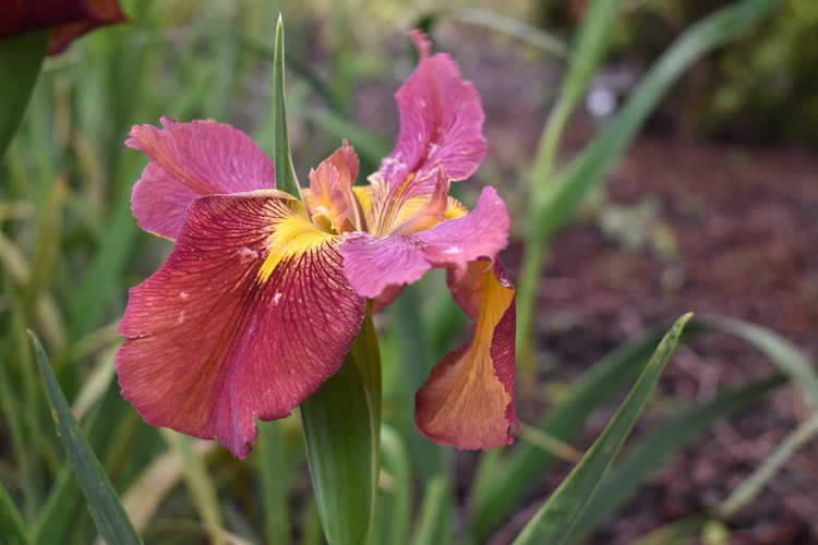 Iris 'James Dickenson'
