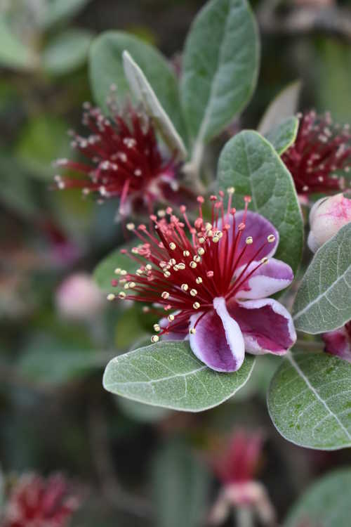 Acca sellowiana 'NCSU Hardy' (pineapple guava)