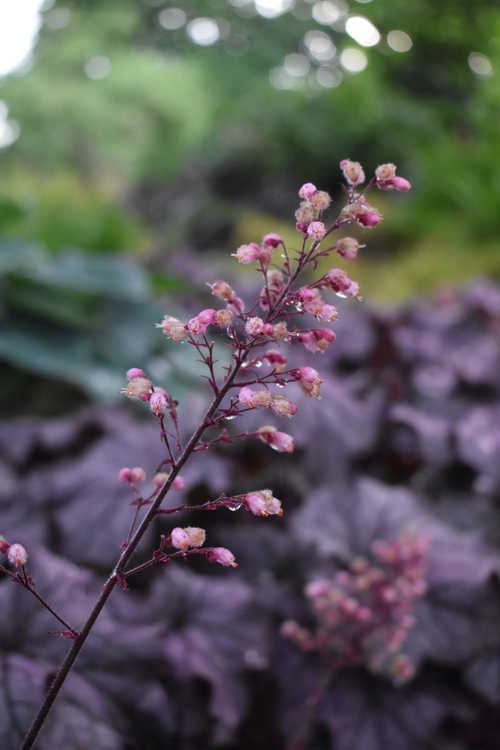 Heuchera 'Tnheuga' (Grande Amethyst coral bells)