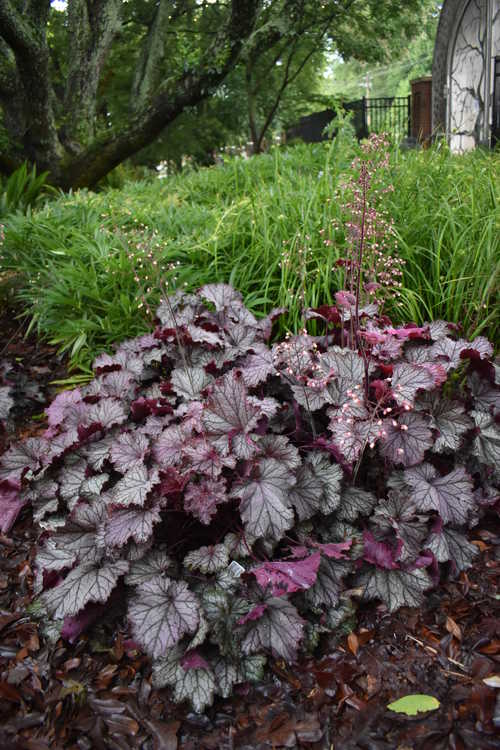 Heuchera 'Tnheuep' (Northern Exposure Purple coral bells)