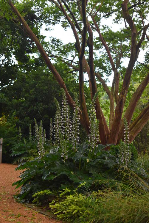 Acanthus 'Summer Beauty' (bear's breech) and Lagerstroemia fauriei (Japanese crepe myrtle)