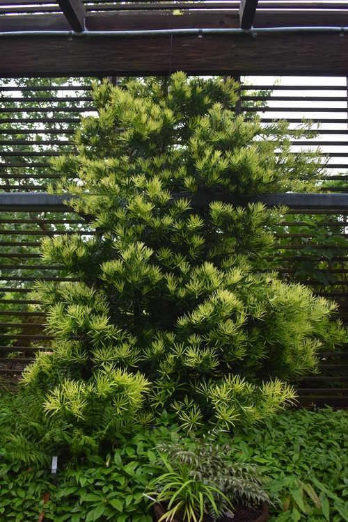 Podocarpus macrophyllus var. maki 'Kinme' (golden-tip Japanese yew-pine)