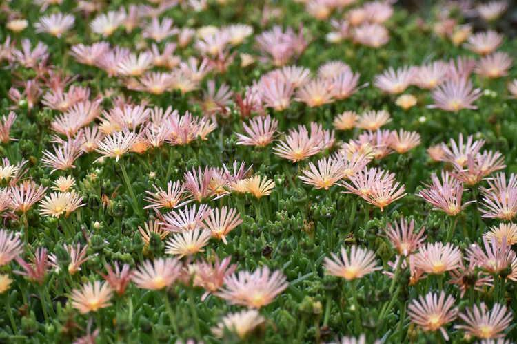 Delosperma 'Kelaidis' (Mesa Verde ice plant)