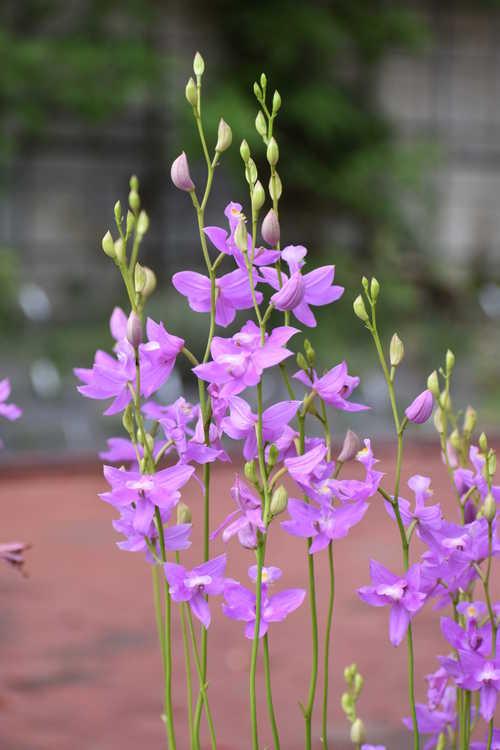 Calopogon tuberosus (tuberous grass pink orchid)