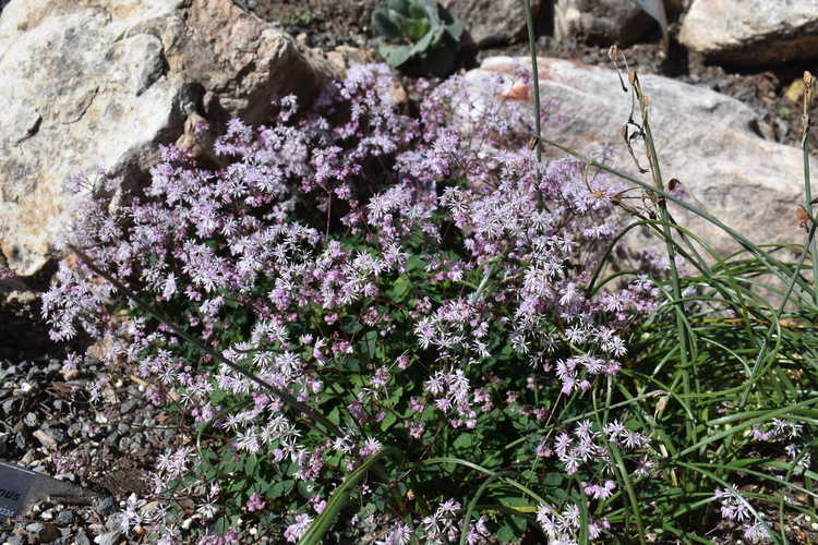 Thalictrum kiusianum (meadow rue)