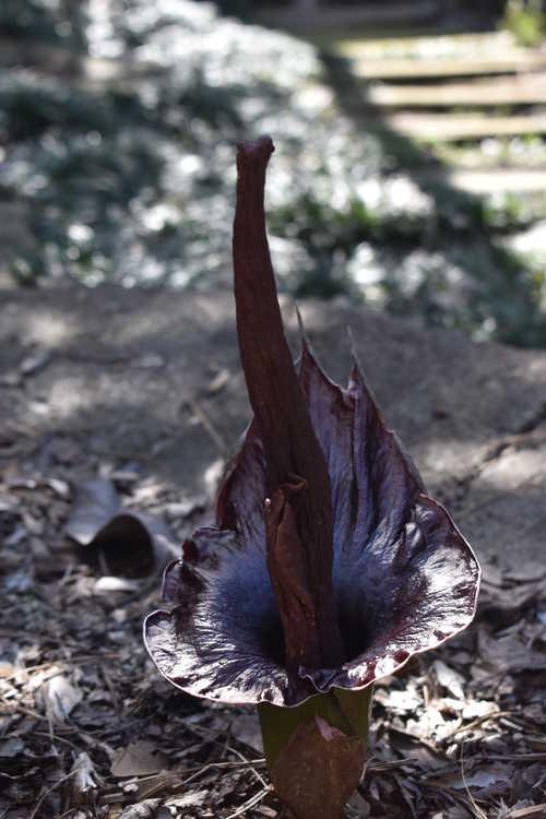 Amorphophallus henryi (narrow leaf form)
